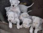 纯种犬繁殖基地售高品质杜高犬 签署合同售后完善