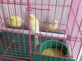 玉鸟黄芙蓉鸟唱鸟,一对可繁殖,