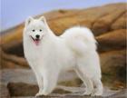 微笑天使西伯利亚耐寒犬种纯种萨摩耶幼犬出售