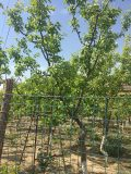 北京华源发出售各种果树苗木