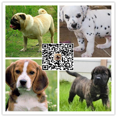 中国较大的马犬专业繁殖犬舍 可上门参观