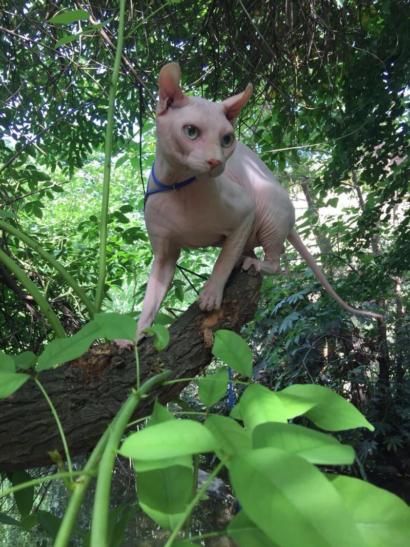 成都斯芬克斯卷耳精灵无毛猫公猫对外借配配种
