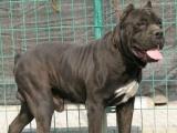 两个月纯种杜高犬价格 杜高狗多少钱一只