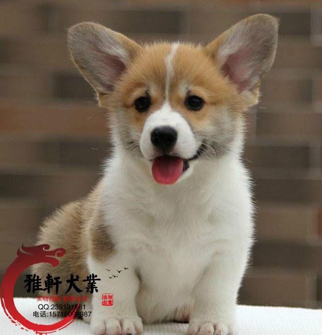 北京哪里出售纯种柯基幼犬 两色三色柯基 疫苗驱虫已做