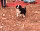 精品边境牧羊犬 自家犬舍繁殖基地直销 品质有保障
