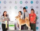中国登陆冠军秋田犬后代血统证书可查询