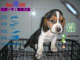 宠物店和狗市里的比格犬可以买吗 健康的多少钱一只