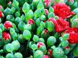 母亲节混色康乃馨鲜花