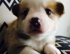 正规犬舍出售精品柯基幼犬包健康签协议送用品
