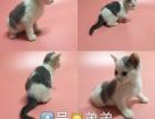 自家繁殖英短蓝白猫咪