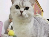 超萌银渐层小猫出售