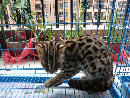 烟台哪里有孟加拉豹猫卖 野性外表温柔家猫性格 时尚 漂亮