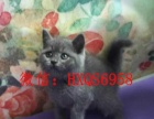 英国短毛猫蓝猫宠物猫短毛猫活体美国蓝猫家养幼猫