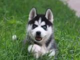 鄭州出售 純種哈士奇幼犬 狗狗出售 可簽協議健康保障