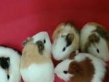 自家养兔子荷兰猪仓鼠小鸡刺猬