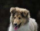 中国较大双血统苏格兰牧羊犬繁殖基地 可实地考察