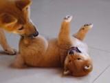 邢台 哪里出售柴犬幼犬出售纯血统柴犬幼犬纯种网红款柴犬幼犬