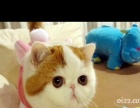 加菲猫各种宠物猫欢迎选购