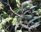 奇花异草、传说救命仙草 铁皮石斛种苗出售