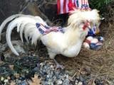 雞西帽子雞 笨雞 飼養帽子雞 帽子雞長期出售