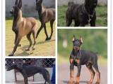 广州里有好多优质宠物狗幼犬 狗场本地出售