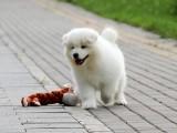 纯种的萨摩耶多少钱 宠物店的狗靠谱吗
