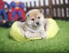 拉萨柴犬怎么卖的 拉萨日系柴犬多少钱 拉萨柴犬的价格