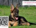 哪里的狼狗最便宜 哪里有纯种德国牧羊犬
