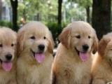 邯郸本市出售纯种家养金毛寻回猎犬两窝幼犬