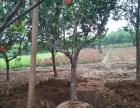 天津蓟县果树苹果树桃树杏树李子树核桃山楂柿子树产业基地