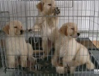 出售金毛導盲犬忠誠可愛的金毛犬聰明伶俐金毛犬忠誠