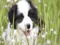 高品质赛级边牧幼犬 齐白通脖 签订终身纯种健康协议