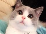 家庭繁殖英国短毛猫 无病无廯 保健康 保养活
