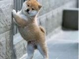 柴犬 卖柴犬 重庆出售柴犬