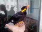轉讓會說話的鷯哥 亞歷山大鸚鵡 金太陽鸚鵡 和尚鸚鵡 品種多