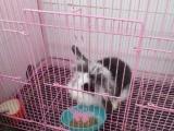 刚买的可爱垂耳兔