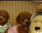 两个多月长不大的小泰迪幼犬一窝红包价转让喜欢的联系
