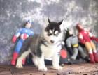扬州哪里有宠物狗卖精品三火蓝眼哈士奇雪橇犬证书齐全
