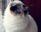 Aiwacats名猫 高品质布偶猫出售 保7天健康