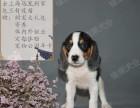 上海专业宠物养殖出售中型犬比格 柯基 柴犬包纯种健康 可自提