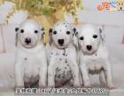 中山哪里买斑点犬好 首选中山正规狗场 健康有保障