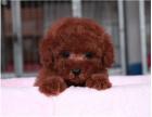 全国连锁双血统泰迪犬繁殖基地 本地可上门