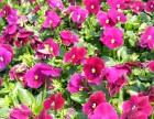 赣州附近花卉苗圃 赣州草花生产基地