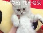 英短银渐层宠物猫咪纯种猫 苏格兰折耳猫幼猫