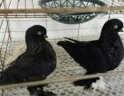 寿星鸽子哪里有养殖的