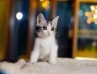 美国CFA认证猫舍 美短 美短 优惠送不停