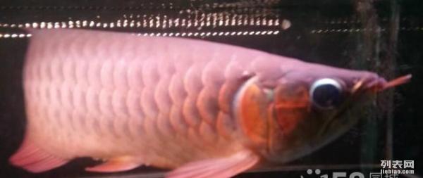 记录瓜子的成长 龙鱼百科 龙鱼饲料第3张