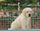 神犬小七导盲犬拉布拉多幼犬寻回犬拉拉宠物狗狗