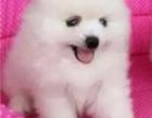 北京国泰宠物狗场出售纯种博美犬1500到10000元