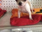 吉娃娃幼犬多少钱一只 哪里出售吉娃娃幼犬吉娃娃照片